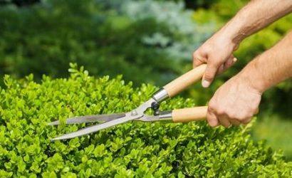 Bild Kleiner Busch wird mit Schere beschnitten