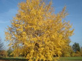 Bild Herbstbaum